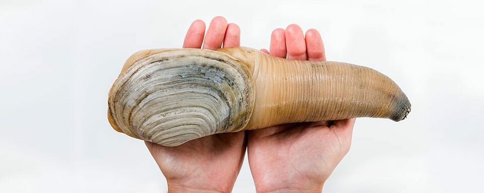 Geoduck Recipes
